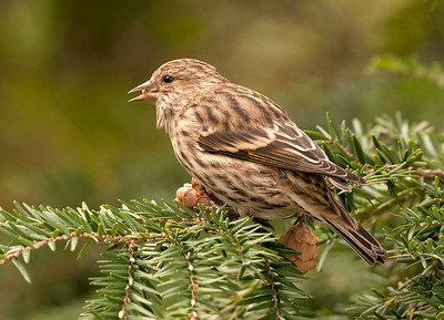 Pine Siskin, Wood County
