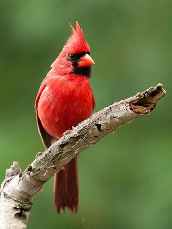 Northern Cardinal, Wood County