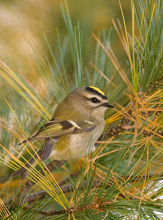 Golden-Crowned Kinglet, Wood County