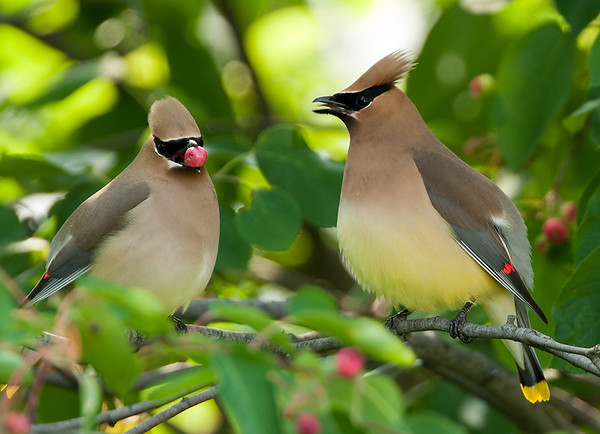 "-""Ain't too Proud to Beg, Sweet Darlin' "" Cedar Waxwing pair, Wood County"