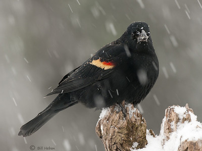 Red-winged Blackbird in snow showers, Wood County