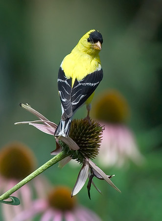 American Goldfinch, Wood County