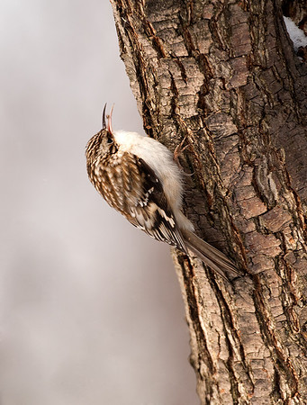 Brown Creeper, Wood County