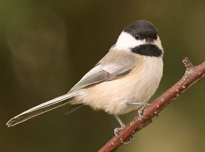 Black-capped Chickadee, Wood County
