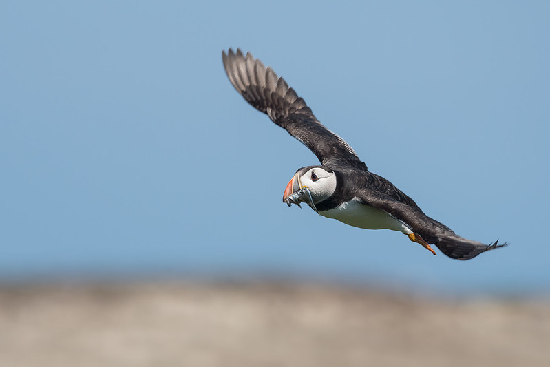 Puffin in flight; 500mm 1/3200 ISO 640 f/6.3