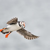 Puffin in flight; 420mm 1/4000 f/5.6 ISO 2000