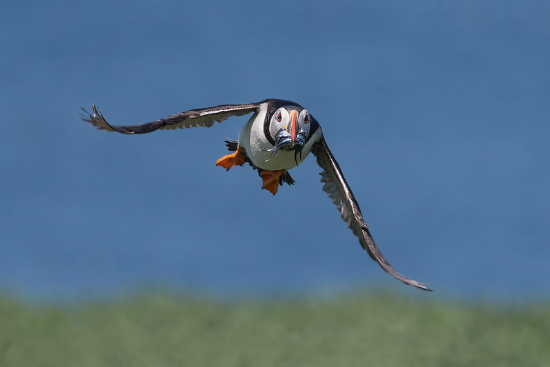 Puffin in flight; 330mm 1/3200 ISO 640 f/6.3