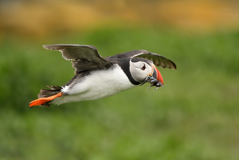Puffin; 300mm 1/3200 f/4.5 ISO 1600