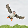 Puffin incoming; 300mm 1/4000 f/4 ISO 1600