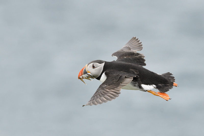 Puffin look back; 300mm 1/4000 f/5 ISO 2000