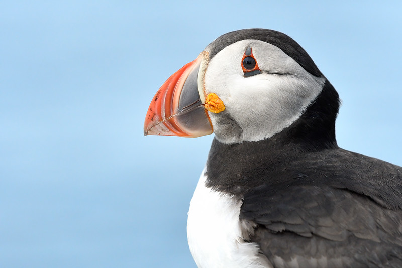 Puffin portrait; 300mm 1/2500 f/6.3 ISO 1400