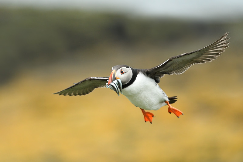Puffin in flight; 300mm 1/4000 f/4.5 ISO 1600
