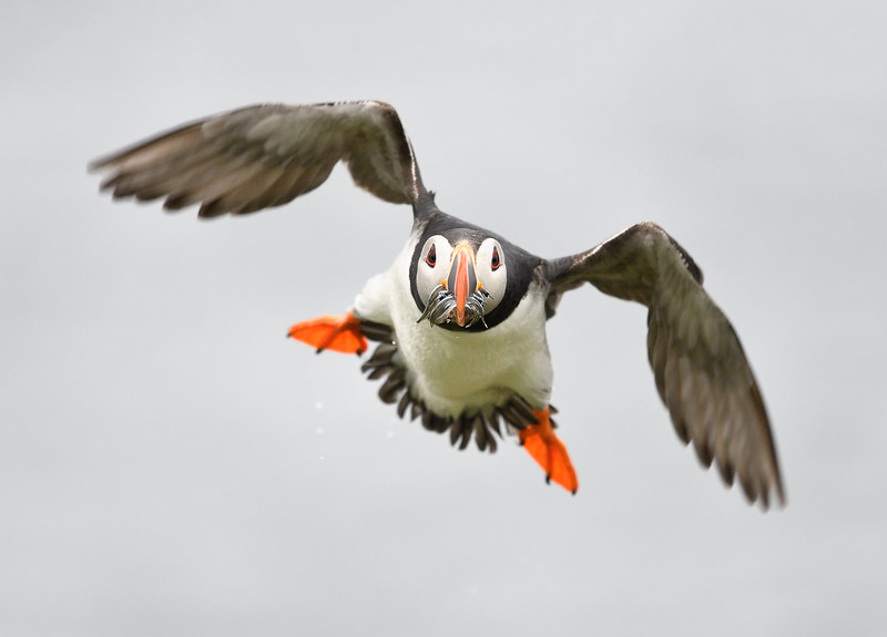 Puffin head on; 300mm 1/3200 f/4 ISO 2500