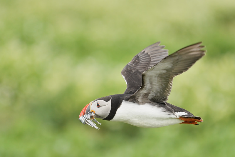 Puffin in flight; 300mm 1/4000 f/4 ISO 1250