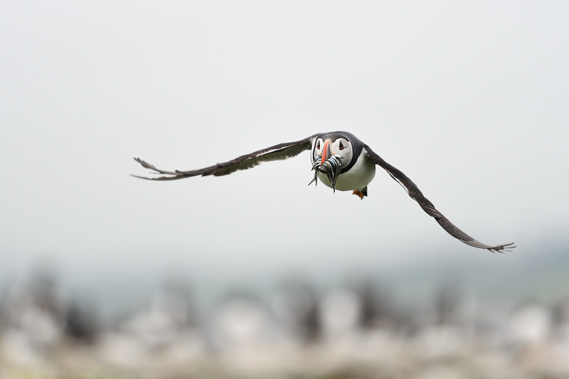 Puffin with sand eels; 300mm 1/3200 f/4 ISO 2000