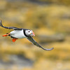 Puffin in flight; 300mm 1/4000 f/4 ISO 1600