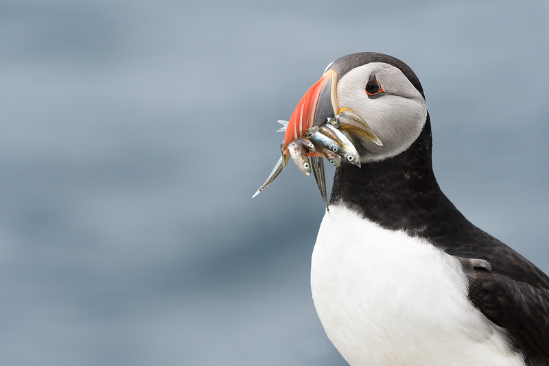 Puffin with sandeels; 300mm f/6.3 1/2500 ISO 1000