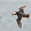Puffin banking; 420mm 1/4000 f/5.6 ISO 1600
