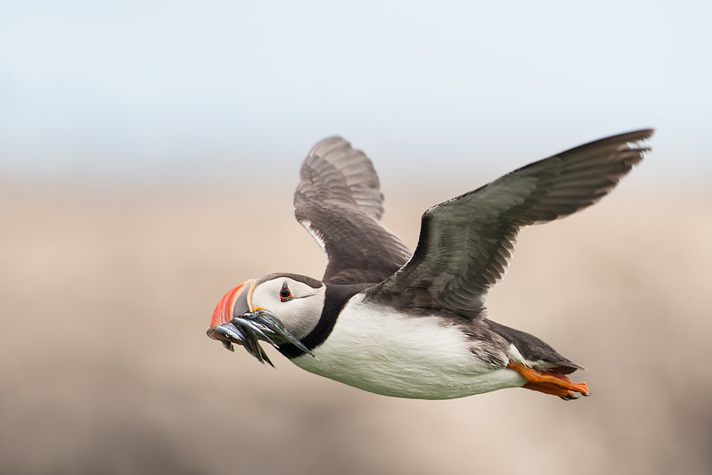 Puffin in flight; 500mm 1/2500 ISO 1600 f/5.6