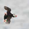 Puffin banking; 420mm 1/4000 f/6.3 ISO 2000