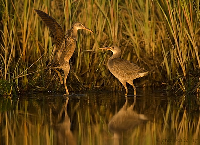 Clapper rails sparring
