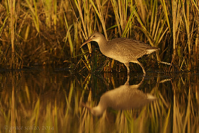 Clapper Rail Juvenile at Sunset