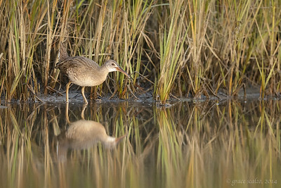 Clapper Rail Juvenile in Marsh