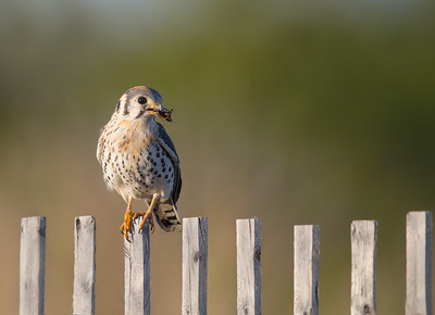 American Kestral with Cricket