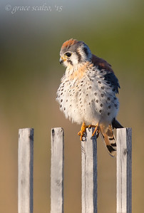American Kestral on Snow Fence