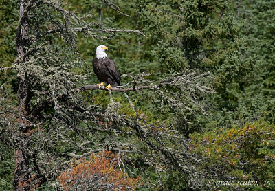 Bald Eagle in Habitat
