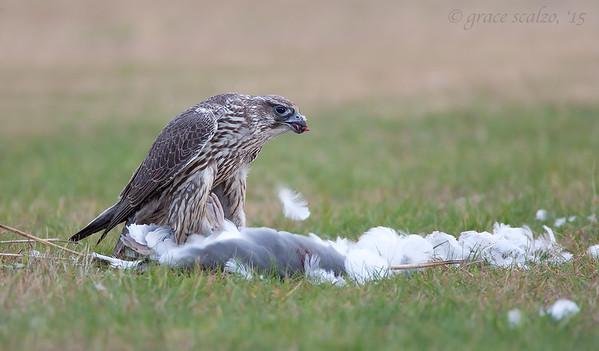 Gyr Falcon eating Herring Gull
