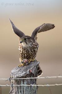 Merlin with prey
