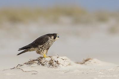 Peregrine Falcon on the Beach