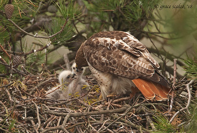 Red-tailed hawk feeding young