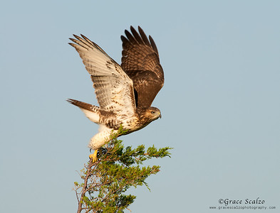 Red-tailed Hawk Juvenile Take-off