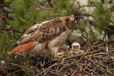Red-tailed hawk and chick