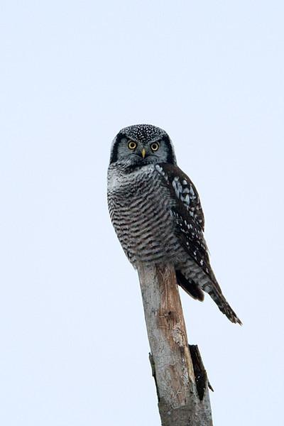 Northern Hawk Owl<br /> Stoney Creel ,Ontario