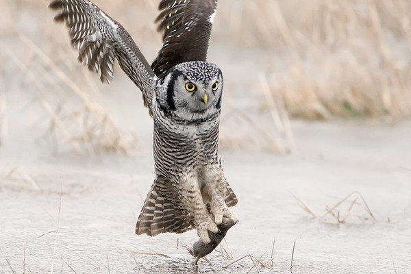 Northern Hawk Owl Hunting<br /> Stoney Creek, Ontario