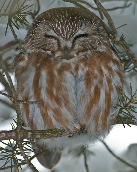 Northern Saw Whet Owl<br /> Amherst Island