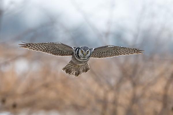 Northern Hawk Owl in Flight<br /> Stoney Creek, Ontario
