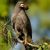 Male Snail Kite