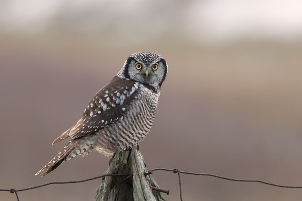 Northern Hawk Owl<br /> Stoney Creel ,Ontario