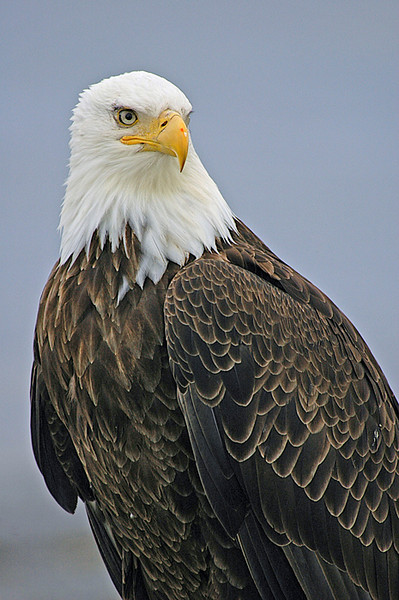 Bald Eagle 2<br /> Homer, Alaska