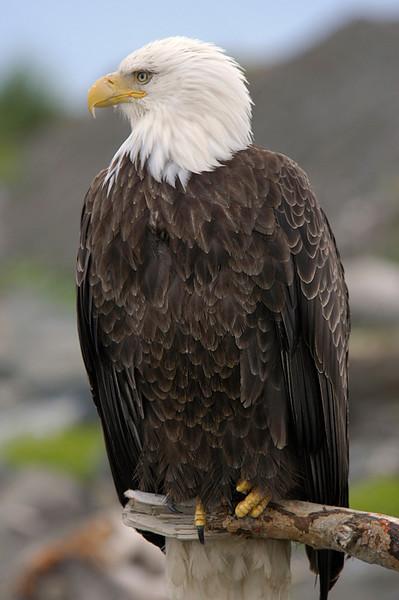 Bald Eagle 3<br /> Homer, Alaska