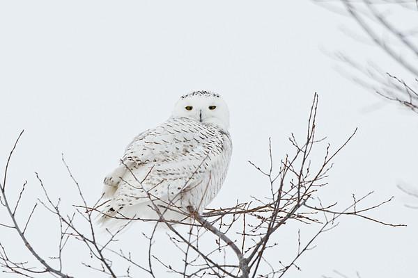 Snowy Owl<br /> Amherst Island