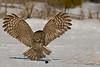Great Gray Owl<br /> Kanata, Ontario