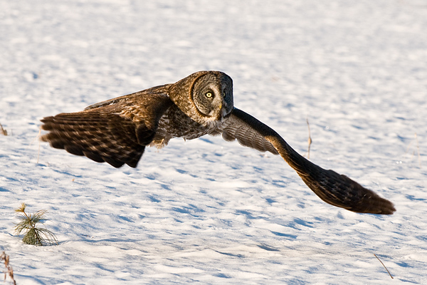 Great Gray Owl<br /> Kanata, Ontario