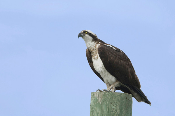 Osprey 3<br /> Kirkfield, On