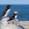 "<center><font face=""Century Gothic"" size=""+1"" color=""#FFFFFF"">Atlantic Puffin and Razorbill</font></center><font face=""Century Gothic"" size=""+1"" color=""#3366FF""><center><font color=""#377915"">Machias Seal Island</font></center></font>"