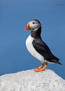 Atlantic PuffinMachias Seal Island